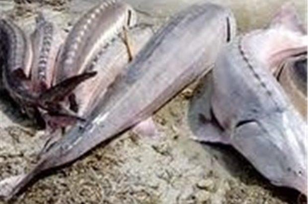 زیرساختهای لازم برای پرورش ماهی خاویاری در قم فراهم شود