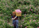 ظرفیت گلابگیری باغات آستان مقدس به ۴۵ تن افزایش مییابد