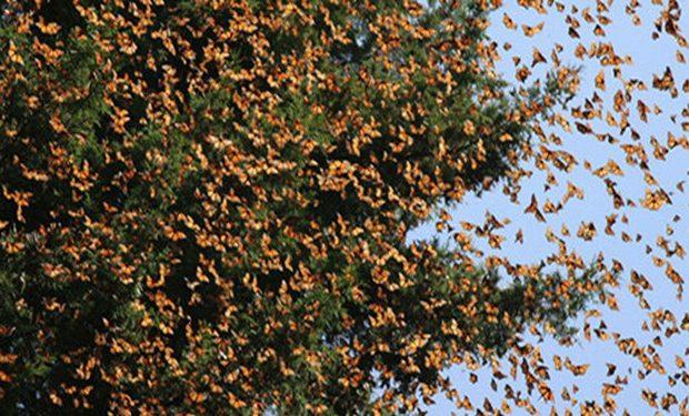 هجوم زیبای پروانهها به قم