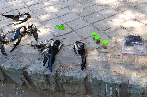 مرگ کلاغها در بوستان غدیر قم/ دامپزشکی بررسی میکند