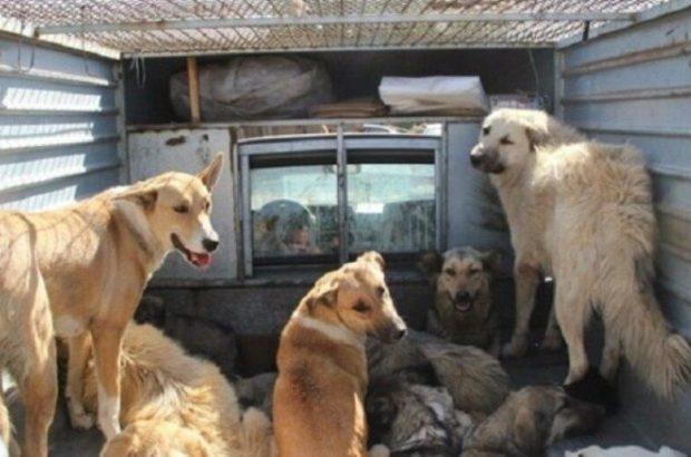 گزیدگی ۳۲۰ نفر در قم توسط سگهای صاحبدار/ جمعآوری ۲ هزار سگ ولگرد