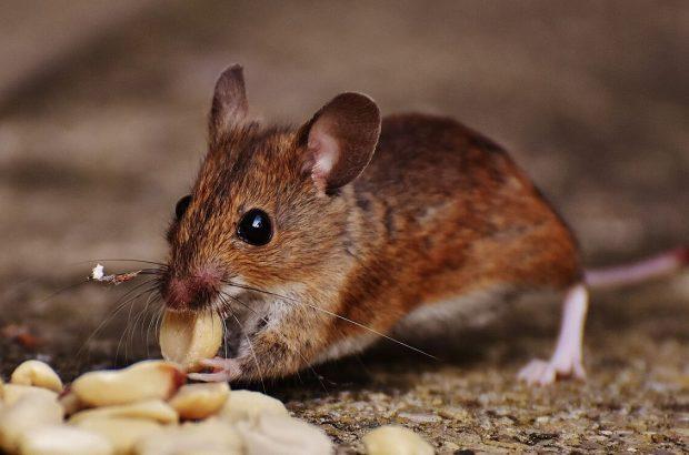 انجام طرح طعمهگذاری به منظور مبارزه با رشد حیوانات موذی در قم