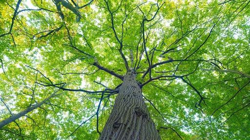 درختان نارون و توت جایگزین اکالیپتوس میشوند